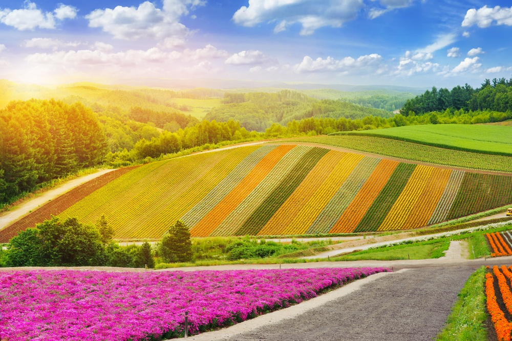 lavender fields in the garden in furano with beautiful sun light ,Hokkaido in Japan on summer time