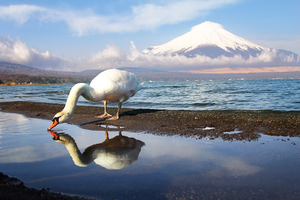 White Swan of Lake Yamanaka with Mt. Fuji background at Yamanashi,Japan. Lake Yamanaka is a point of view Mount Fuji is very popular for photographers and tourists. Travel and natural Concept
