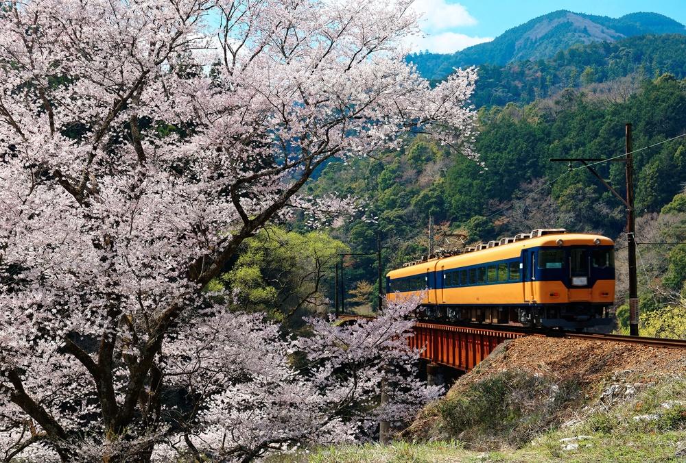 A local train traveling on a bridge by a flourishing cherry blossom ( Sakura ) tree near Kawane Sasamado Station of Oigawa Railway in Shimada, Shizuoka, Japan ~ Spring scenery of Japanese countryside